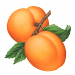 Botanical illustration of two apricots on a branch with leaves.
