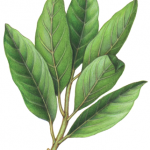 Bay leaf branch