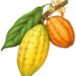 Botanical illustration of yellow and orange cacao on a branch with a leaf and flowers.