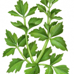 Celery leaves stalk