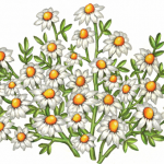 Chamomile flowers, leaves and stems on a bush