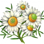 Chamomile with four flowers, leaves and stems