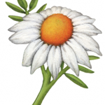 Chamomile single flower with stem and leaves
