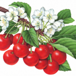 Illustration of twelve sour red Montmorency cherries on a branch with leaves and cherry blossoms.
