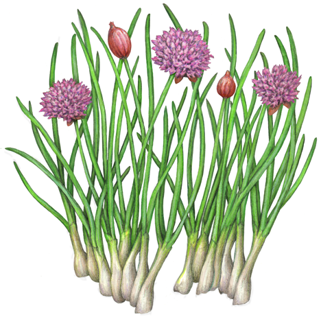 Chives With Purple Flowers