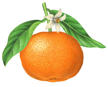 Botanical Illustration Of A Clementine With Leaves And Blossom