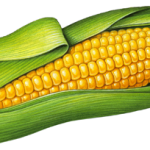Single ear of yellow corn