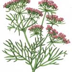 Cumin plant