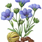Flax plant with blue flowers, dried pod and flaxseeds