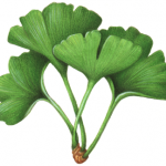 Four leaves of Ginkgo Biloba