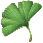Single leaf of Ginkgo Biloba
