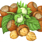 Hazel nut still life with nuts both with shells and no shells, plus hazel nut flowers and leaves