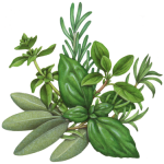 Illustration of Italian Seasoning herbs featuring sage, oregano, rosemary, marjoram, savory and basil