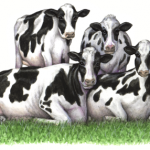 Watercolor animal illustration of four Holstein cows laying on grass