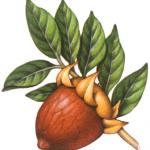 Jojoba branch with a single enlarged jojoba nut