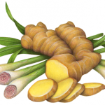 Lemongrass and ginger illustration showing cut lemongrass and cut ginger root.
