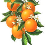 Orange branch illustration with oranges, leaves and blossoms.