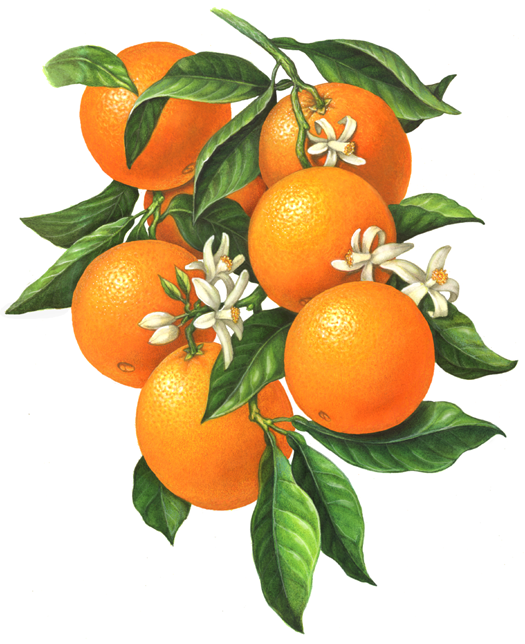 Draw Orange in Illustrator images