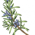 Rosemary sprig with blue buds and flowers