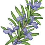 Rosemary sprig with five blue flowers.