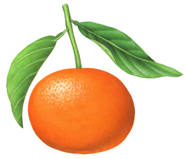 Botanical Illustration Of A Tangerine