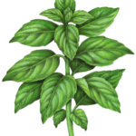 Basil plant with sixteen leaves