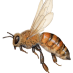 Honey bee flying with a side view