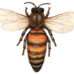 Overhead view of a queen honey bee