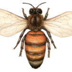Overhead view of a honey bee worker