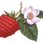 Botanical of a raspberry on a stem with a flower and leaves