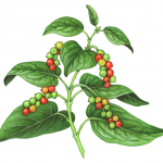 Black pepper plant with red and green peppercorns