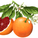 One whole blood orange on a branch with leaves and orange blossoms and a cut blood orange half