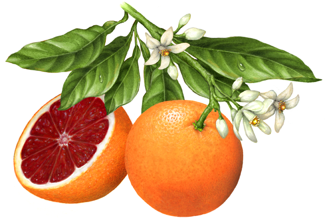 One Whole Blood Orange On A Branch With Leaves And Blossoms Cut