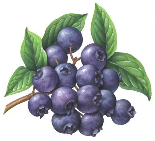 Berries Stock Art Illustrations - Douglas Schneider ...