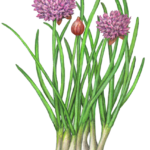 Chives with two purple flowers and one chive bud