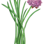 Green chives with one purple chive's flower