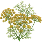 Dill weed with yellow flowers