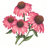 Four pink echinacea flowers