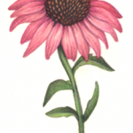 One pink echinacea flower