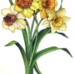 Vintage style assorted colored daffodils