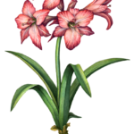 Four pink amaryllis flowers and one amaryllis bud with leaves and bulb.