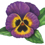 Old-fashioned Victorian style purple pansy
