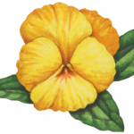 Old-fashioned Victorian style yellow pansy