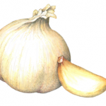 Single whole garlic head and one clove