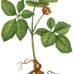 Ginseng plant with root leaves and red flower.