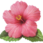 Single pink hibiscus flower with leaves