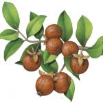 Jojoba branch with leaves and seven jojoba nuts