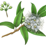 Lemon Myrtle (Backhousia Citriodora) branch with leaves, buds and flowers.