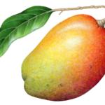 Whole mango with a stem and a leaf.