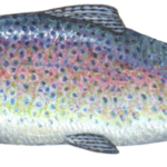 Rainbow trout in profile view.